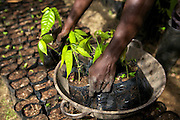 Small cocoa trees at a cocoa nursery in Ghana.