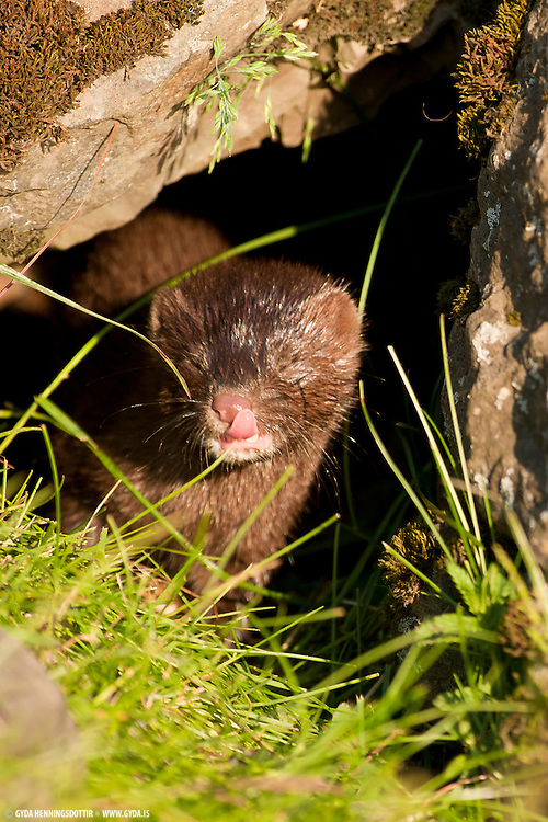 Despite beeing a disaster for birdlife the mink is hard to find in Iceland. This serie of photos is taken in south-Iceland of a family of female and two cubs. The evening sun made the light great and with some planning it was possible to photograph them for a while.