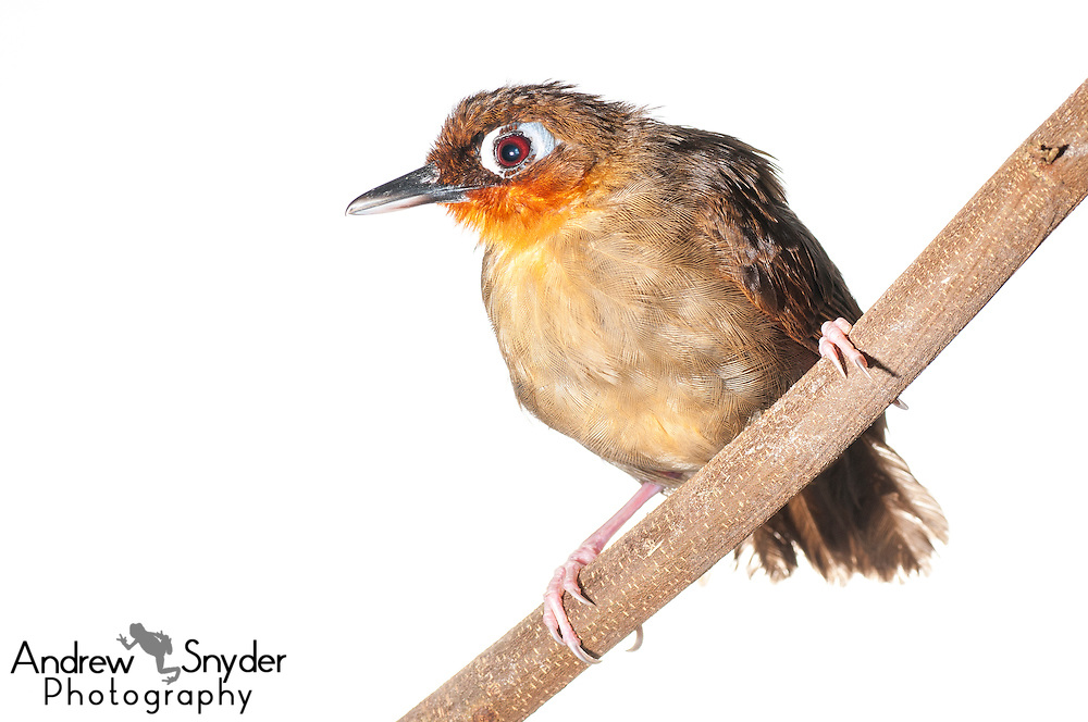 Rufous-throated antbird )Gymnopithys rufigula) - Iwokrama, Guyana