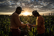 Mycogen workers take corn plant DNA samples on Molokai.