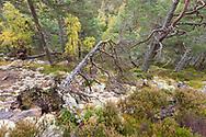 Mixed native woodland in autumn, Allt Ruadh, Glenfeshie, Scotland.