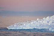 Chinstrap Penguin<br /> Pygoscelis antarctica<br /> On iceberg at sunset<br /> Weddell Sea, Antarctica