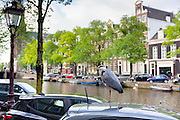 Great Blue Heron alights on car roof by canal in Amsterdam, Holland