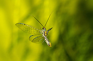 Green Lacewing (Abachrysa eureka) flying<br /> United States: Alabama: Tuscaloosa Co.<br /> Tulip Tree Springs off Echola Rd.; Elrod<br /> 1-Sep-2016<br /> J.C. Abbott #2862
