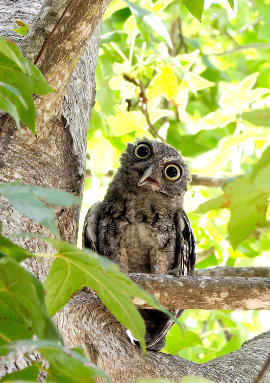 A juvenile owl begins a protest from semi-safety on a tree limb.