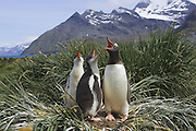 Gentoo Penguin<br /> Pygoscelis papua<br /> Parent(s) and 2-4 week old chick(s) <br /> Gold Harbor, South Georgia