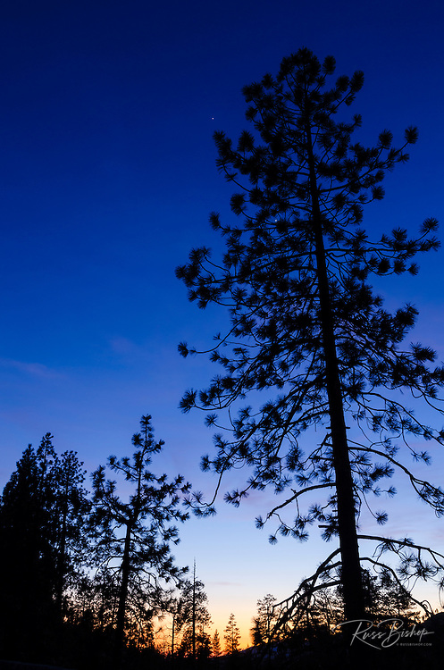 Silhouetted pines at dusk, Yosemite National Park, California USA