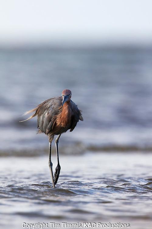 Reddish Egret, Egretta rufescens, Bolivar Flats, Texas gulf coast, fishing with raised leg, eye contact