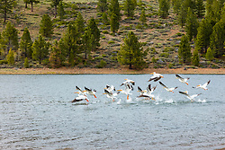 """""""Pelicans at Stampede Reservoir"""" - photograph of a flock of pelicans taking off at Stampede Reservoir."""