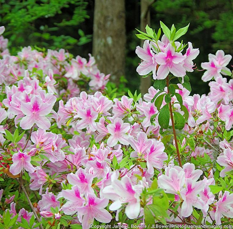 Azeleas white & pink