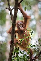 A young Bornean orangutan (Pongo pygmaeus) climbing in a tree in Tanjung Puting National Park, Borneo, Indonesia.