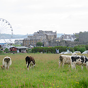 A herd of cattle graze in the foreground, with the town of Beaumaris in the distance. Beaumaris is on the island of Anglesey of the north coast of Wales, UK.
