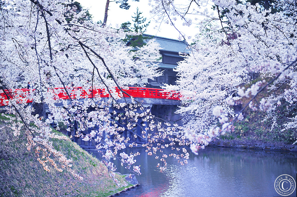 The main bridge into the central part of Hirosaki castle in the spring time. Wonderful cherry blossoms flank the moat.<br />