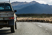 Sheep flock blocks a road on the way to Milford Sound, South Island, New Zealand