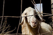 No longer able to graze freely, most Bedouin livestock in the Negev is penned in, severly impacting the ability of Bedouin families to herd sheep. Though some open grazing permits are still available, most families have sold their herds, others have reduced their numbers of sheep to a mere handful, so they can be kept within their villages. And black goats, the hair of which is used to weave Bedouin tents, have been banned by the Israeli government, ostensibly because they are more destructive to the desert ecology than sheep are - though some Bedouin believe the government wanted to cut their supply of black wool, so they could no longer make their traditional tents.