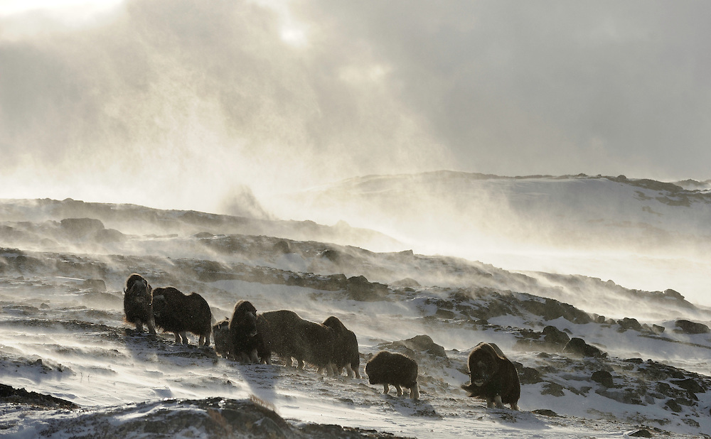 Muskox, (Ovibos moschatus) dovrefjell national park , norway, february,.