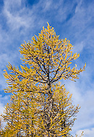 Larch tree and blue sky, Enchantment Lakes Wilderness Area, Washington Cascades, USA.