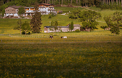 THEMENBILD - Kühe grasen auf einer Weide und einem Blumenfeld, aufgenommen am 07. Mai 2018 in Kaprun, Österreich // Cows graze in a pasture and a flower field, Kaprun, Austria on 2018/05/07. EXPA Pictures © 2018, PhotoCredit: EXPA/ JFK