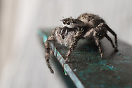 A jumping spider taking in its surroundings - Owings Mills, Maryland