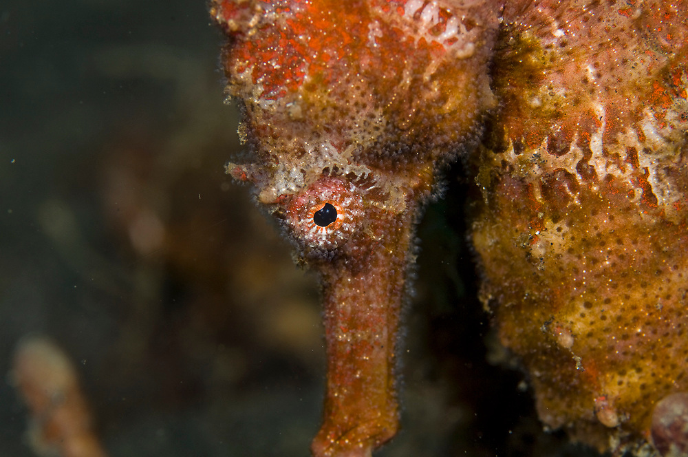 Common seahorse (Hippocampus taeniopterus) in Lembeh Strait, Indonesia