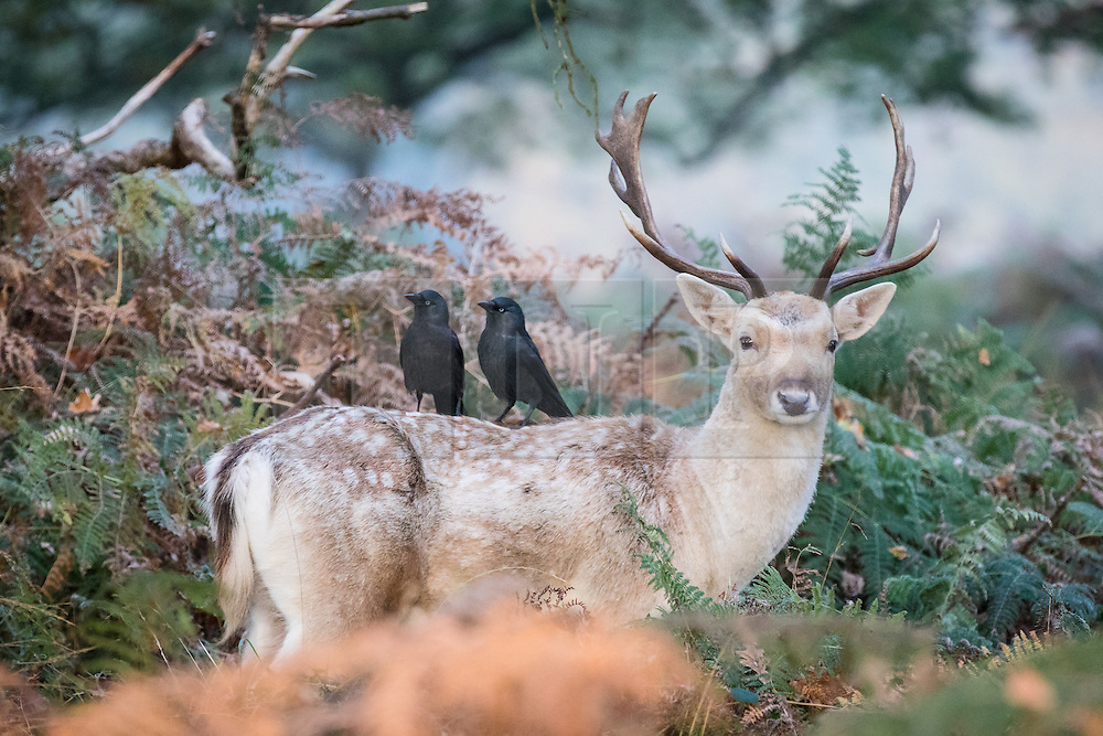 © Licensed to London News Pictures. 08/11/2016. London, UK. A fallow deer seen at sunrise among the trees and bracken in Richmond Park as two crows pick through its fur for food. Forecasters expect snow to hit parts of the UK today as temperatures dropped to freezing overnight. Photo credit: Rob Pinney/LNP