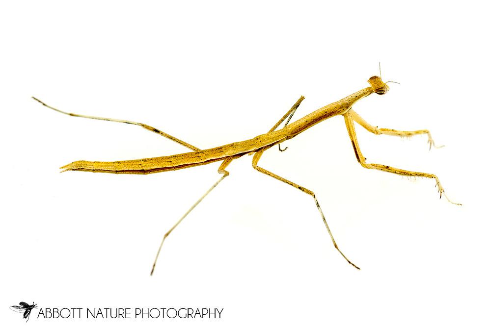 Mantis (Oligonicella scudderi) nymph<br /> Captive reared individual<br /> 27-May-2017<br /> J.C. Abbott &amp; K.K. Abbott