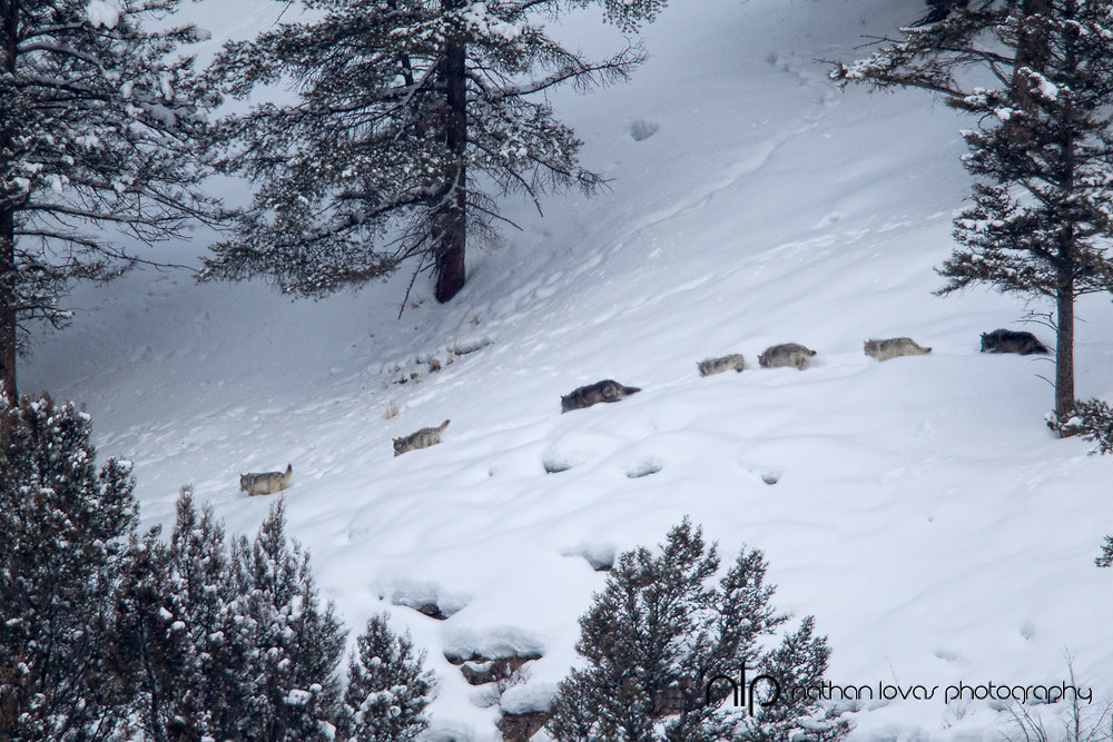 Wolf pack in line in deep snow; Yellowstone NP in wild.