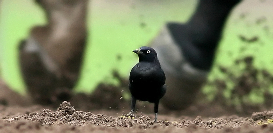 [date} 10:50:30 AM --- HORSE RACING SPORTS SHOOTER ACADEMY 004 --- ARCADIA, CA: A black bird looks for food as horse warm up before the race at San Anita Race Track Friday afternoon. Photo by Patric Schneider, Sports Shooter Academy