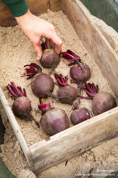 Storing beetroot. Placing in box on layer of sand