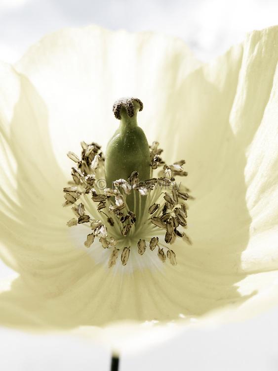 Small poppy flower detail