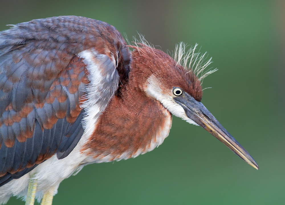 Immature Tricolored Heron