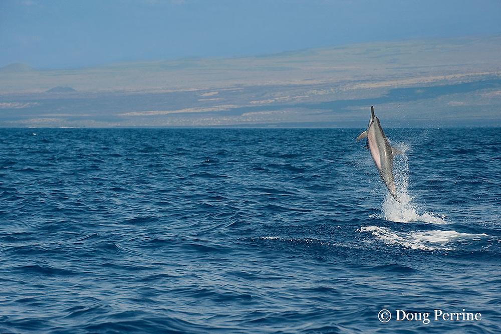 Hawaiian spinner dolphin or Gray's spinner dolphin or long-snouted spinner dolphin, Stenella longirostris longirostris, leaping from water, Kona Coast, Big Island, Hawaii ( Central Pacific Ocean )