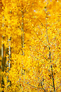 "SHOT 9/23/14 3:28:43 PM - Aspen trees changing color near Rollinsville, Co. in the Arapaho National Forest. Aspens are trees of the willow family and comprise a section of the poplar genus, Populus sect. Populus. The Quaking Aspen of North America is known for its leaves turning spectacular tints of red and yellow in the autumn of the year (and usually in the early autumn at the altitudes where it lives). This causes forests of aspen trees to be noted tourist attractions for viewing them in the fall. These aspens are found as far south as the San Bernardino Mountains of Southern California, though they are most famous for growing in Colorado. Autumn leaf color is a phenomenon that affects the normally green leaves of many deciduous trees and shrubs by which they take on, during a few weeks in the autumn months, one or many colors that range from red to yellow. The phenomenon is commonly called fall colors and autumn colors, while the expression fall foliage usually connotes the viewing of a tree or forest whose leaves have undergone the change. In some areas in the United States ""leaf peeping"" tourism between the beginning of color changes and the onset of leaf fall, or scheduled in hope of coinciding with that period, is a major contribution to economic activity. (Photo by Marc Piscotty / © 2014)"