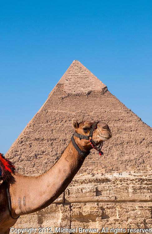 A camel posing before the Chephren Pyramid, Giza, Egypt.