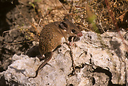 Cairo Spiny Mouse (Acomys cahirinus) Photographed in the Carmel mointain,  Israel