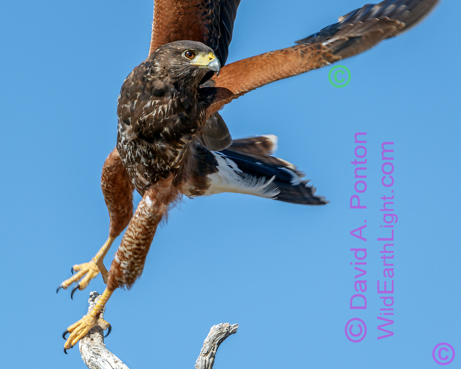Juvenile Harris's hawk does a twisting take off in sudden pursuit, © 2011David A. Ponton