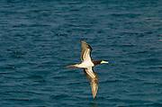 Brown booby, U.S. Virgin Islands.