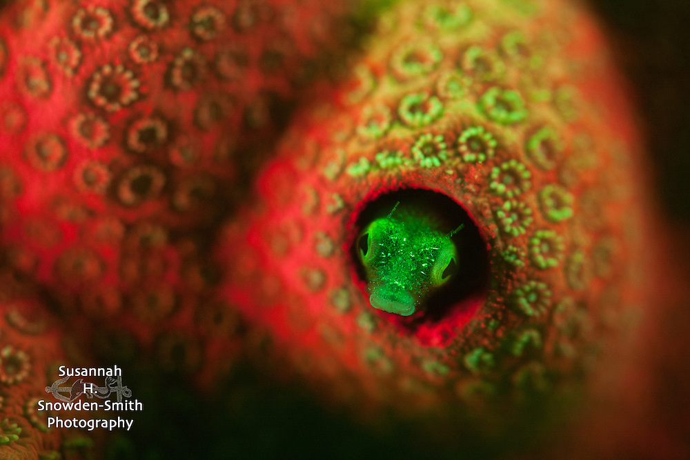 """**Enlargement sizes for this image may be limited. Please contact Susannah for details.** """"Fluorescing Secretary Blenny"""" - A tiny secretary blenny and the coral it's living in, glow bright under Nightsea fluorescent lights and filters."""