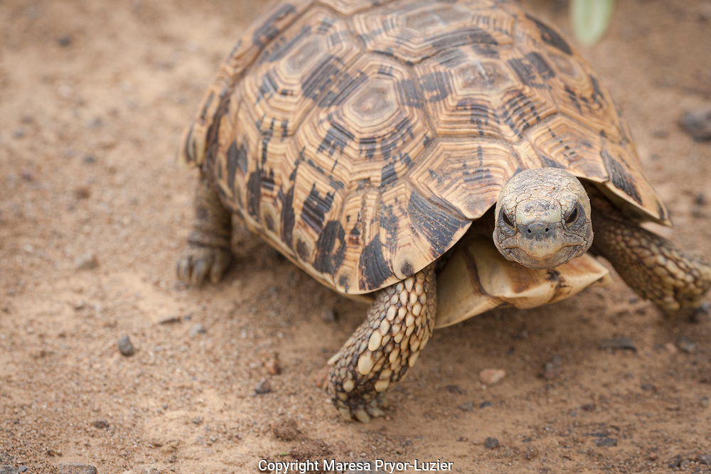 Southeastern Bell's Hinge-back Tortoise<br /> Kinixys belliana zombensis<br /> Hluhulwe Game Reserve<br /> South Africa