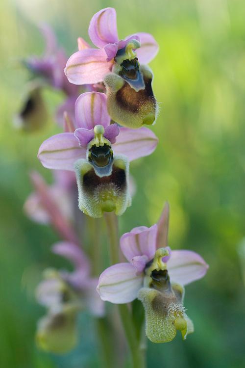 Apulia; Gargano Peninsula; Italy; Leaf-Wasp Carrying Ophrys; Ophrys tenthredinifera
