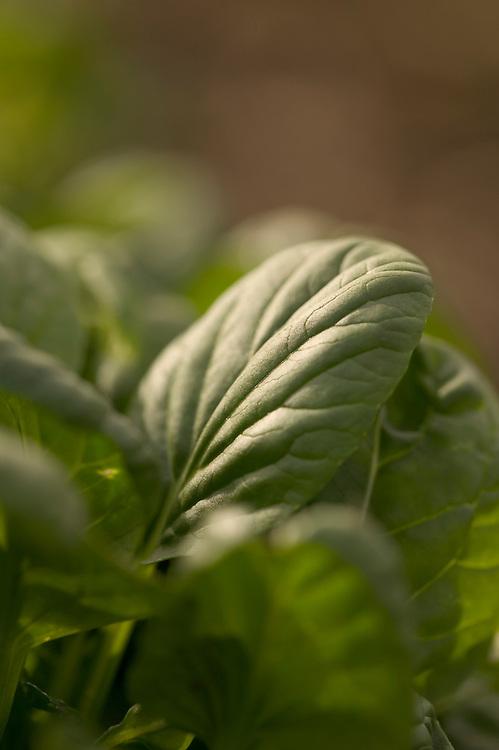 close-up of spinach leaf at Nalo Farms, Waimanalo, Oahu, Hawaii