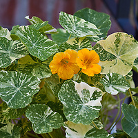 Variegated leaves and bright flowers of the edilbe Alaska series nasturtium (Tropaeolum majus 'Alaska')