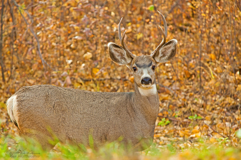 A large mule-deer buck pauses in the autumn colors in the Peace River Valley of northern British Columbia, Canada. The area is threatened from the proposed hydroelectric dam that would flood the entire scenic valley and canyon.