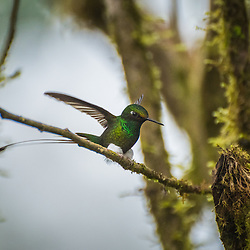 A male booted-rocket tail, a member of the Hummingbird family, lands on a branch, Santa Lucia Cloud Forest, Ecuador.