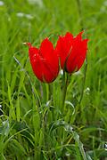 Tulipa agenensis red flowers in green field, israel