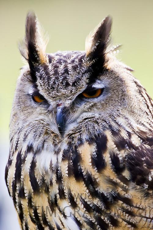 European Eagle Owl, Charlton Park, Wiltshire, England, United Kingdom