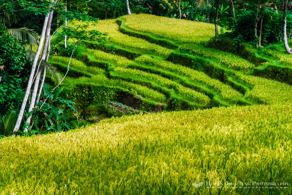 Bali, Gianyar, Gunung Kawi.  Rice fields close to the site.