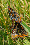 Two checkerspots mating and a third checkerspot joins them