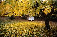 France, Languedoc Roussillon, Gard, Cévennes, mûrier à l'automne