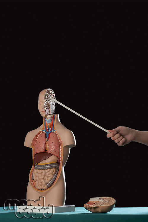 Person pointing stick at human anatomy model